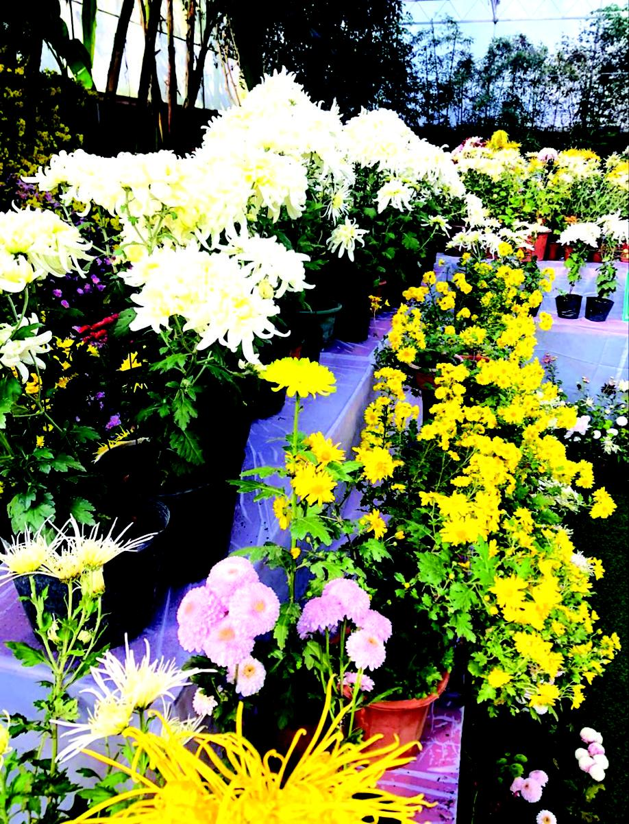 时隔30年,浏阳再次迎来大型菊展